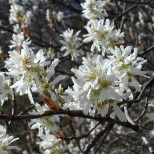 Arborele de stafide - Amelanchier lamarckii