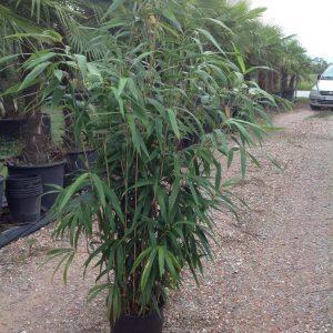 Bambusa metake - Bambus