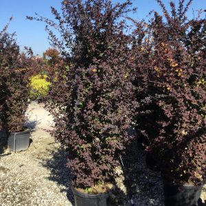 Dracila rosie - Berberis thunbergii Atropurpurea