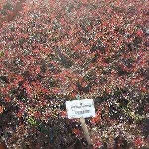 Dracila pitica rosie - Berberis thunbergii Atropurpurea Nana