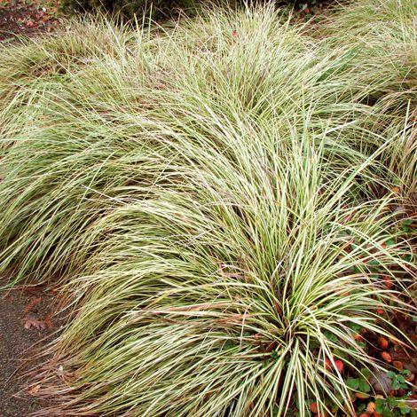 Carex morrowii ? Aurea Variegata?