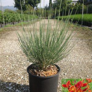 Matura verde - Cytisus scoparius Tuscania