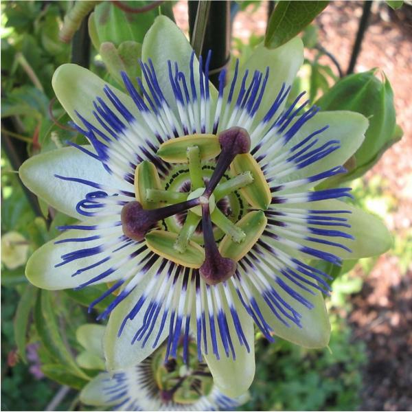Floarea pasiunii - Passiflora caerulea