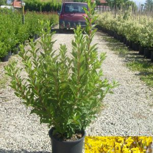 Ploaia de aur -Forsythia x intermedia Lynwood