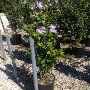 Hibiscus cu flori roz - Hibiscus syriacus Blue Bird