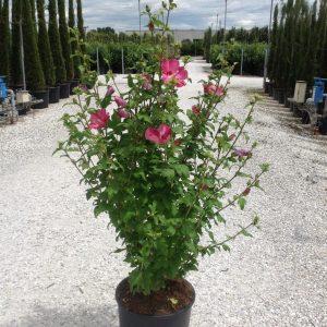 Hibiscus cu flori rosii - Hibiscus syriacus Woodbridge