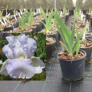 Iris germanica ?Cottage?