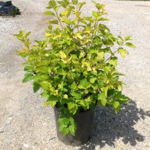 Physocarpus opulifolius Dart?s Gold
