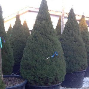 Picea glauca ?Conica ? ? Molid pitic conic
