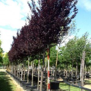 Corcodus rosu ornamental - Prunus cerasifera Pissardii