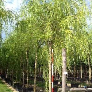 Salcie plangatoare - Salix babylonica