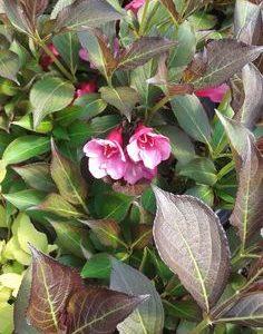 Weigela Florida Purpurea