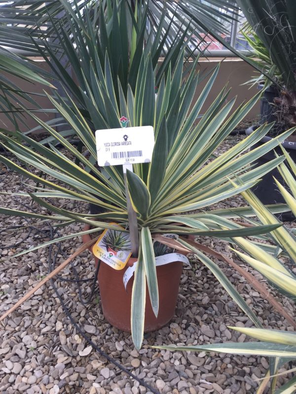 Yucca gloriosa ?Variegata?